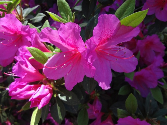 Azaleas were in full bloom!