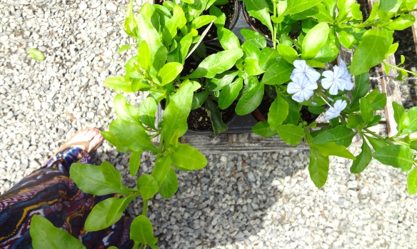 Dearness Gardens | Phlox Plant